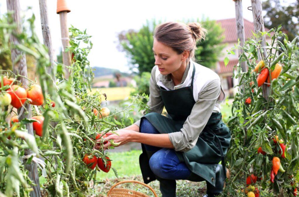 Сборщик урожая в тепличный комплекс